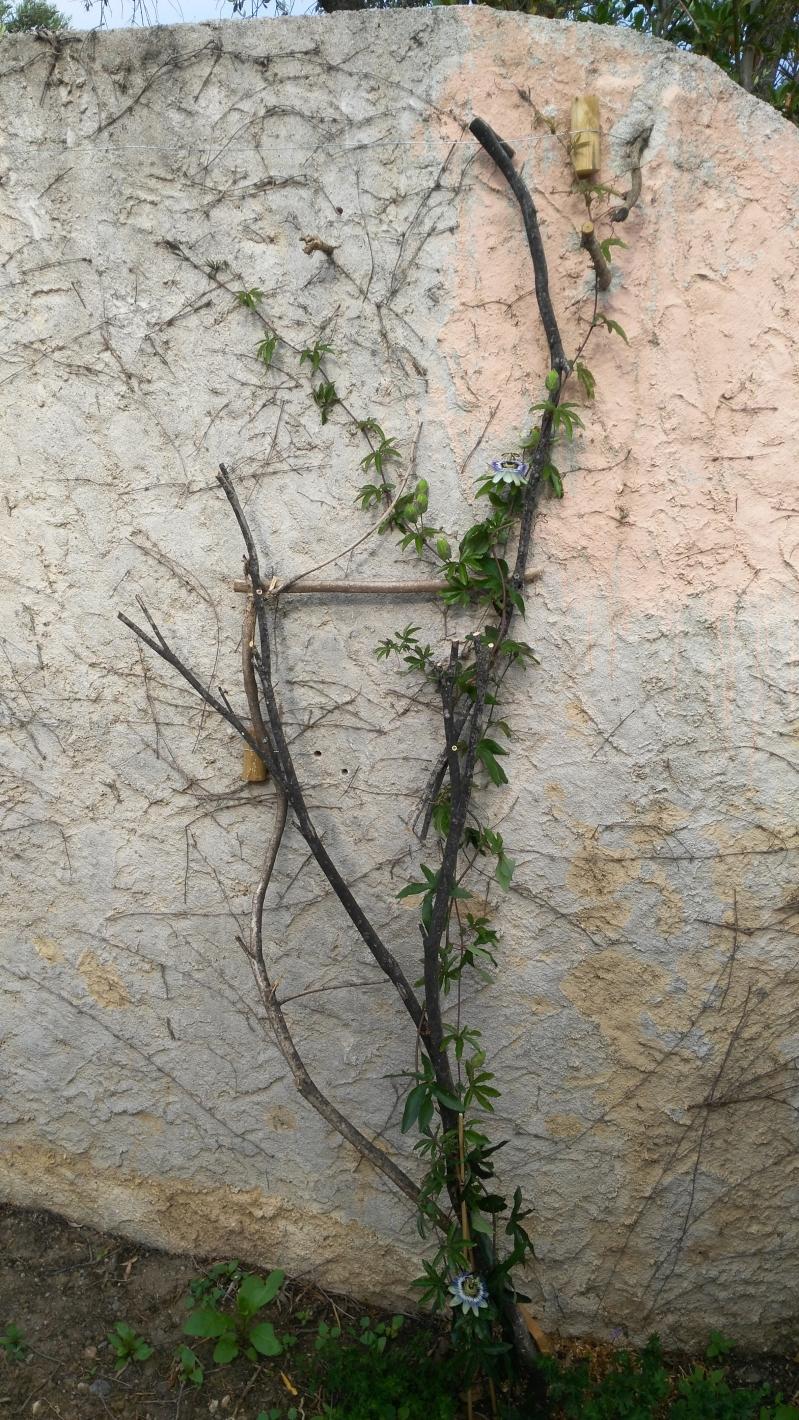 Que planter contre un mur 25 2m qui pousse vite joli forums de gammvert - Quoi planter en juin ...
